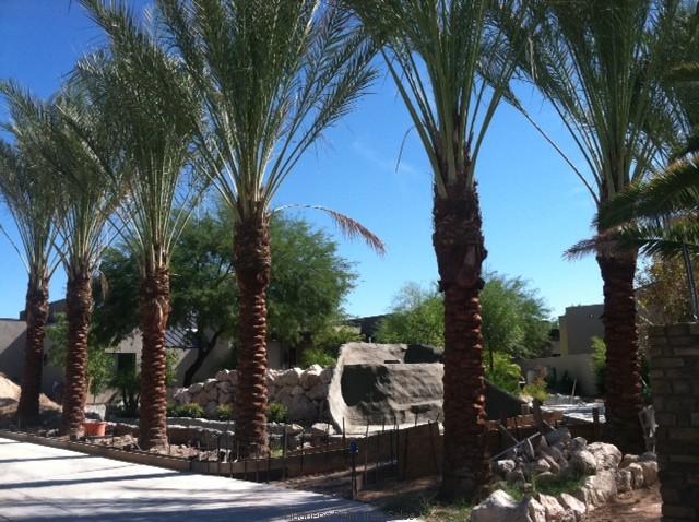 Hudgens Palm Trees Palm Tree Sales Of Las Vegas Nevada